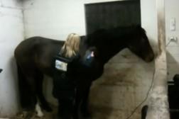 Klippning av häst på klickervis