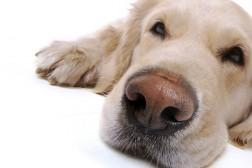 Aktivisering av døv hund