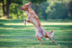 Hvorfor trener jeg triks med hundene mine?